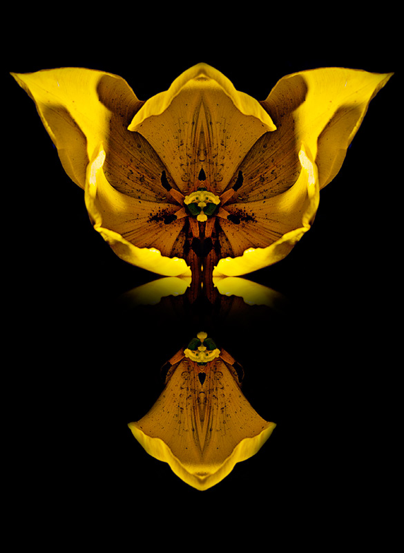 #creative #flower #photo #yellow #tulip #black #background #by #Oliver #Papp
